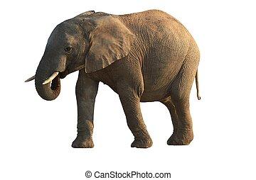 elefante africano, -, isolato