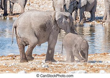 elefante africano, madre, e, giovane, vitello