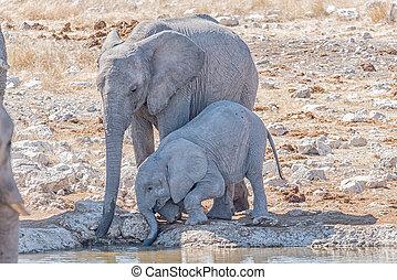 elefante africano, madre, e, vitello, loxodonta africana, acqua potabile