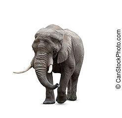 elefante africano, maschio, bianco