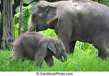 elefante, asia, sudeste, bosque, madre, bebé