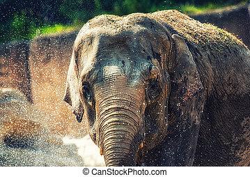 elefante, banhar-se