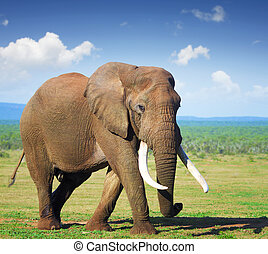 elefante, con, grande, zanne