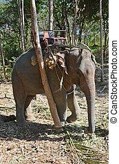 elefante, inclinar, un, árbol
