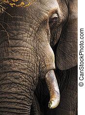 elefante, primer plano, retrato