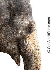 elefante, sonrisa, aislado