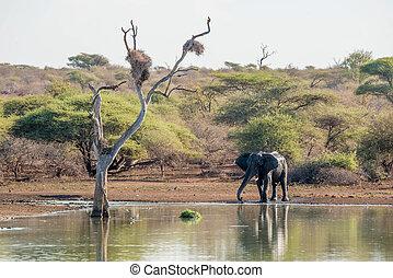 elefante, waterhole