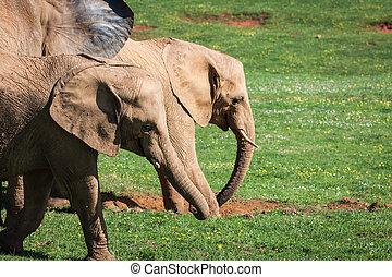 elefanten, familie, auf, afrikanisch, savanna., safari, in, amboseli, kenia, afrikas