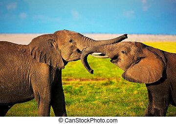 elefanten, spielende , auf, savanna., safari, in, amboseli, kenia, afrikas