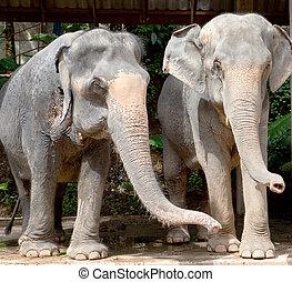 elefanten, thailand