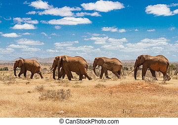 elefanten, tsavo, nationalpark, kenia