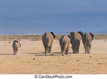 elefanter, baksidaen beskådar, amboseli nationell park