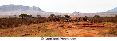 elefanter, och, zebra, in, den, savann, in, kenya