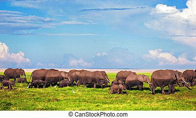 elefantes, rebanho, ligado, savanna., safari, em, amboseli, kenya, áfrica
