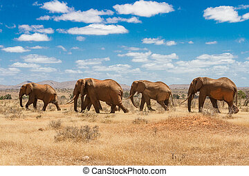 elefantes, tsavo, parque nacional, kenya