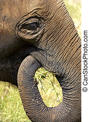 elefanthuvud