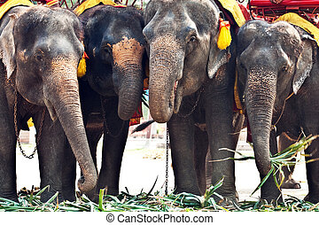 elefants for tourist rides in Ajutthaja
