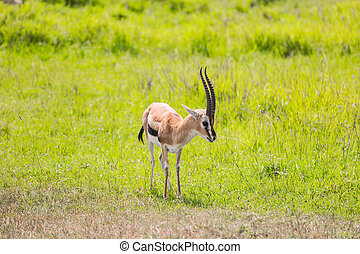 Elegant antelope - Thomson's gazelle