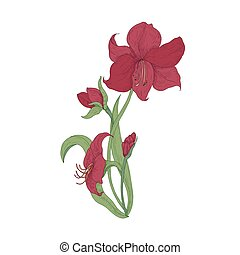 Elegant blooming red Amaryllis flowers, buds and leaves hand...