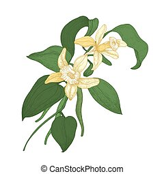 Elegant botanical drawing of vanilla plant branch with blooming flowers and leaves isolated on white background. Aromatic spice or condiment. Natural vector illustration hand drawn in antique style.