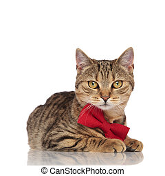 elegant british fold cat with red bowtie lying