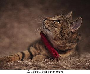 elegant british fold lying on fur looks up to side