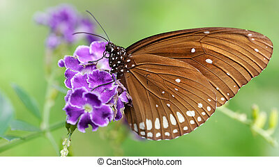 elegant brown monarch butterfly on a purple flower, a gracious and fragile lepidoptera insect famous for its migration