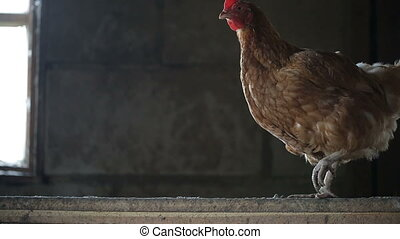Elegant chicken in the henhouse