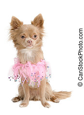 Elegant chihuahua puppy in pink