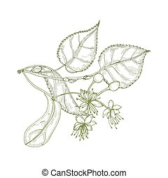 Elegant drawing of linden leaves, beautiful blooming flowers or inflorescence and buds. Plant used in phytotherapy hand drawn with contour lines on white background. Realistic vector illustration.
