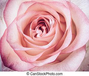 fresh pale pink rose - Elegant fresh pale pink rose flower,...