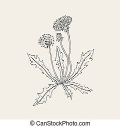 Elegant outline drawing of dandelion plant with flower, seed head and bud growing on stem and leaves. Beautiful wildflower hand drawn in vintage style. Monochrome Botanical vector illustration.