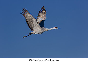 Elegant sandhill crane soaring upward in flight