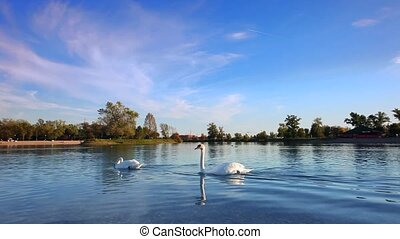 Elegant Swan on the blue lake - Elegant Swans on the blue...