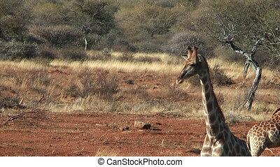 Elegant walk of a giraffe