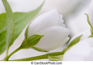 Elegant White Jasmine Flower - A branch of elegant white...
