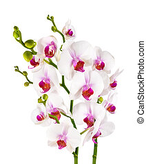 elegant white orchids - isolated