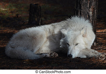 Elegant White Wolf In A Remote Location