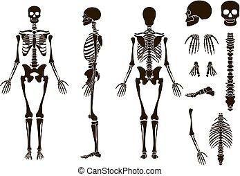 elementara, skelett, kranium, collection., set., illustration, vektor, mänsklig, knotor, struktur