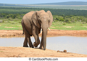 Elephant, Addo Elephant National park, South Africa