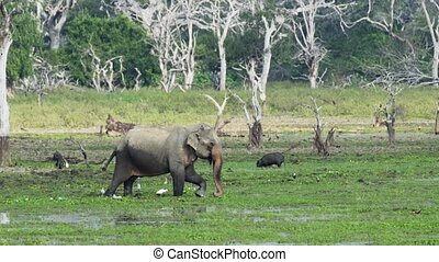Elephant and Boars Wading in a Swamp in Sri Lankan Sanctuary...
