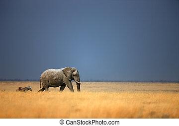 Elephant and zebra - Elephant bull and zebra walking in open...