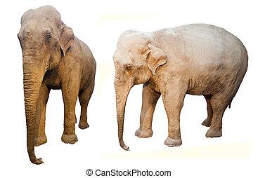elephant animal isolated on white background