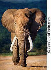 Elephant approaching - Elephant with large teeth approaching...