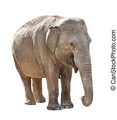 Elephant - Asian elephant female isolated on white...
