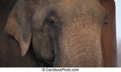 elephant., asiatique, nepal.