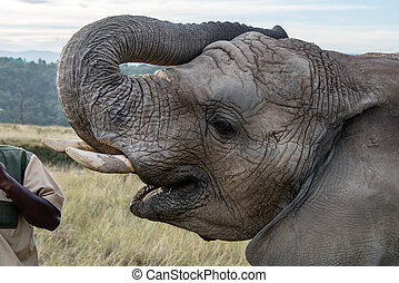 Elephant asking for food