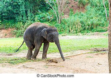 elephant at Chiang Mai, Thailand