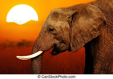Elephant at Sunset Background - Elephant at African Sunset...