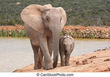 Elephant Baby and Mother - Baby African elephant keeping...